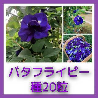バタフライピーの種20粒(その他)