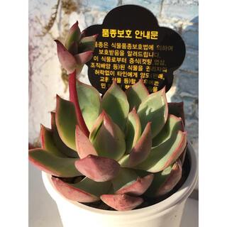 多肉植物 韓国苗 ドラゴンハウス  ピンクドラゴン カット苗‼️(その他)