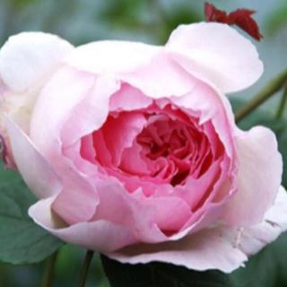 バラ苗 we ②  花つき花もち良いE R(その他)