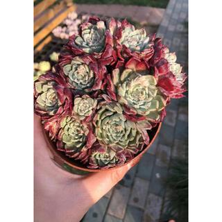 多肉植物(その他)