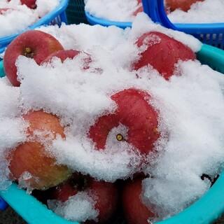 雪貯蔵りんご  サンふじ家庭用5kg(フルーツ)
