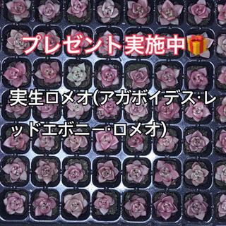 実生 ロメオ 多肉植物 多肉 プレゼント実施中!(その他)