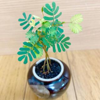 銀葉アカシアミモザ種子30粒(その他)