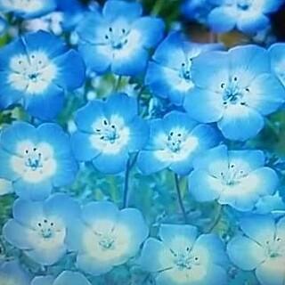 花の種      ネモフィラ200粒+おまけ付き50粒(その他)