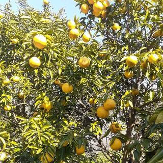 無農薬 日向夏 1kg(フルーツ)