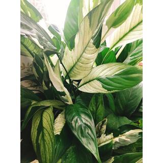 スパティフィラム 班入り 観葉植物(その他)
