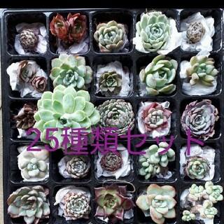 [お買い得♪]多肉植物 韓国苗 25種類セット(その他)