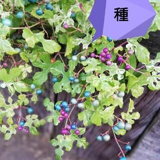 斑入りノブドウ 種(その他)