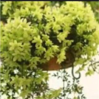 つぼみ付き‼️垂れ下がるクレマチス ペトリエイ、カートマニージョーの苗(その他)