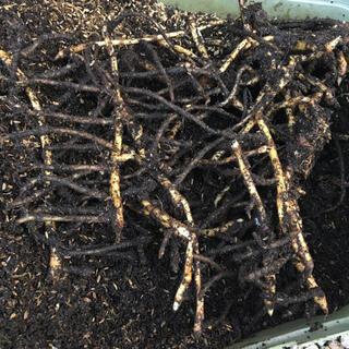 みょうが 地下茎 ミョウガ 苗 10本 約300g(野菜)