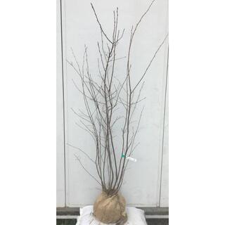 《現品》ジューンベリー 株立ち 樹高1.6m(根鉢含まず)52【果樹苗木/植木】(その他)
