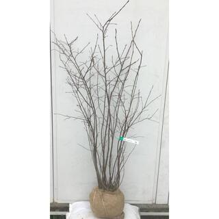 《現品》ジューンベリー 株立ち 樹高1.4m(根鉢含まず)53【果樹苗木/植木】(その他)