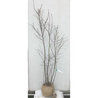 《現品》ジューンベリー 株立ち 樹高1.6m(根鉢含まず)54【果樹苗木/植木】(その他)