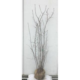 《現品》ジューンベリー 株立ち 樹高1.5m(根鉢含まず)56【果樹苗木/植木】(その他)