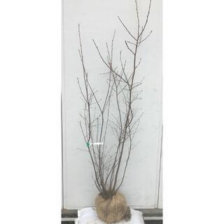《現品》ジューンベリー 株立ち 樹高1.5m(根鉢含まず)58【果樹苗木/植木】(その他)
