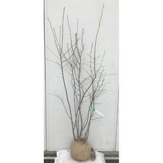 《現品》ジューンベリー 株立ち 樹高1.5m(根鉢含まず)59【果樹苗木/植木】(その他)