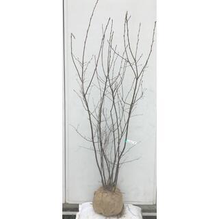 《現品》ジューンベリー 株立ち 樹高1.5m(根鉢含まず)60【果樹苗木/植木】(その他)