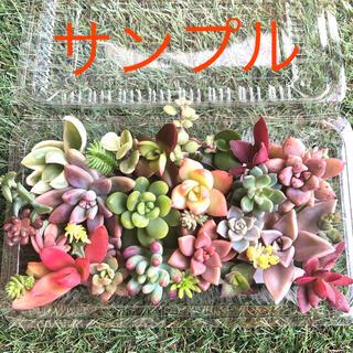 多肉植物 *カラフルカット苗* 30種類(その他)