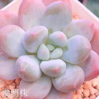 多肉植物 韓国苗 ピンクフレーヌ 葉挿し 1枚(その他)