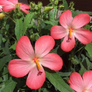 アジアンハイビスカス 花の種80粒(その他)