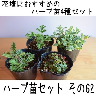 要望対応可能!ハーブ苗セット その62 花壇におすすめのハーブ苗 4種セット(プランター)