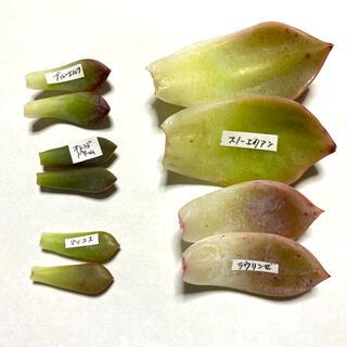 多肉植物 葉挿し5種セット①(その他)