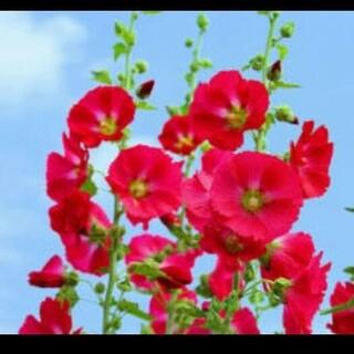タチアオイの種50粒ショッキングピンク色(その他)