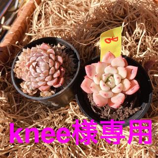 (g)韓国多肉植物Red ZaragosaとMexico Minima(g)(その他)