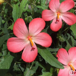 アジアンハイビスカス(アベルモスクス )花の種80粒(その他)
