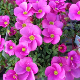 オキザリス 10株 ピンク グランドカバー 咲き始めました!(その他)