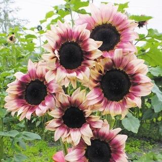 幻想的な花色の向日葵 珍しくてきれいな二色咲き・ピンクの向日葵の種5粒(その他)