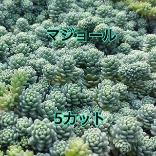 【多肉植物を育ててみませんか❤️ちまちま寄せに】マジョール カット5本 送料無料(その他)