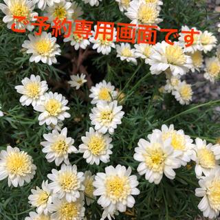 ボンザマーガレット(イエローレモン八重咲)ポット苗1つ(プランター)