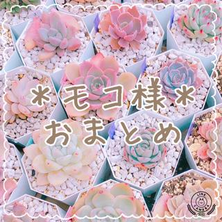 【モコ様専用】葉挿し デビー トップシータービー+他 多肉植物(その他)