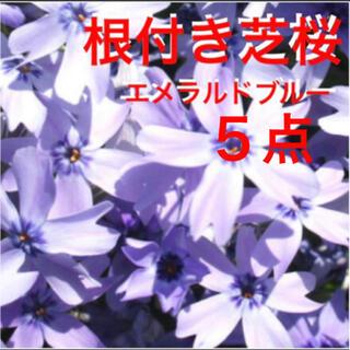 もう咲き始めた❣️根付き苗☆芝桜☆エメラルドブルー☆初心者向け☆(プランター)