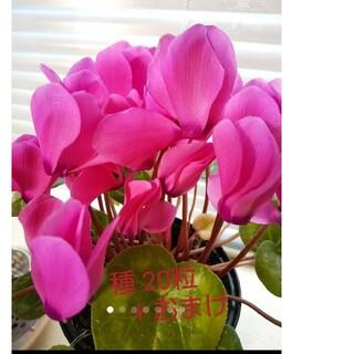 シクラメン  種  20粒    おまけつけます!ローズピンクの花色です。(その他)