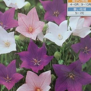 花の種     桔梗ミックス+桔梗ピンク+おまけ付き(その他)