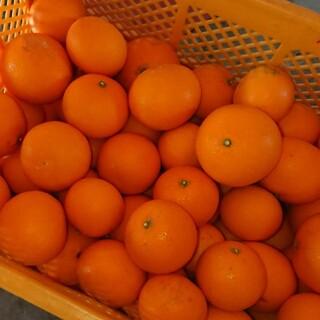 和歌山県産 清見オレンジ 10kg (フルーツ)