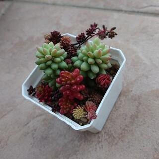 【多肉植物】ピンクベリー&レッドベリー(その他)