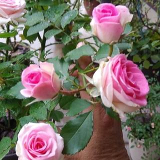 14cm程の薔薇の苗🌹『ミミエデン』🌹挿し木苗(その他)