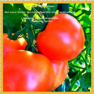 小松菜、トマト、ブラック大根、水菜(野菜)