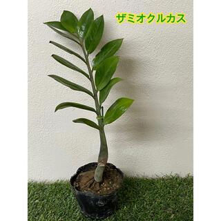 ザミオクルカス 観葉植物 黒ポットごと(その他)