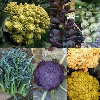 野菜の種 春の準備人気の4種 芽キャベツ ロマネスコなど(その他)
