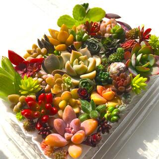 多肉植物 セダム⭐︎その他カット苗パック 15種類以上 1(その他)