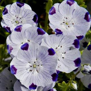 【最安値】ネモフィラ マキュラータ 60粒。お洒落なお花が咲きます(その他)