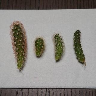 ミニサボテン 4種セット(その他)