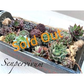 センペルビウム 抜き苗&カット苗20種セット(その他)