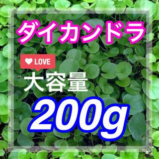 【最安値】ディカンドラ 200g種子<14平米!> 芝生、グランドカバー♪♪(その他)