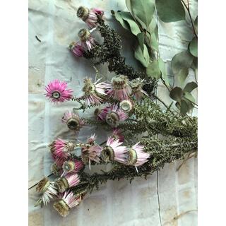 フェノコマ ナチュラルピンク ネイティブフラワー ドライフラワー 花材(ドライフラワー)