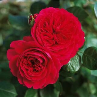 薔薇挿し木苗 セール中 お値下げしました(その他)